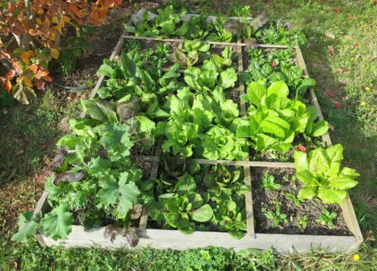 Mon potager en carrés contient surtout des salades