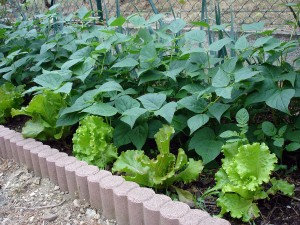 Des salades pour tout l'hiver