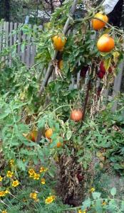 Il reste encore pas mal de fruits sur ce plant de tomates Valencia