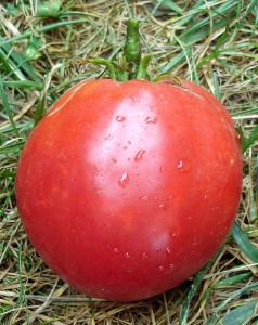 Photo d'une Tomate Anna Russe