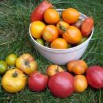 Les meilleures tomates que j'ai récoltées