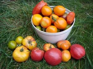 Photo d'un récipient rempli d'une cueillette de tomates