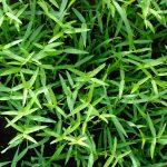 L'engrais vert, un allié indispendable