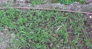 Après 3 semaines, l'engrais vert occupe le terrain
