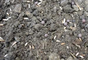 Ne semez pas trop dru. Les engrais verts vont se développer rapidement !