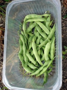 Haricots grains 'Soissons Gros Blanc'