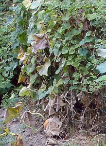 La plante du kiwano ressemble à celle du concombre