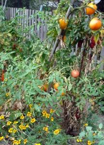 Les tomates sont protégées des ravageurs grâce aux oeillets d'inde