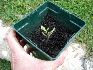 Mi-avril, un plant de tomate fraichement repiqué