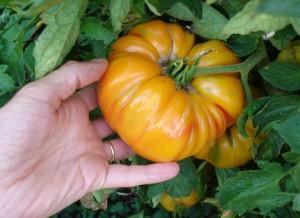 "Une énorme tomate ""Ananas"" (délicieuse aussi !)"