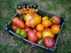 En ce moment, nous mangeons des tomates midi et soir !