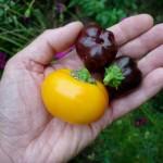 Des poivrons miniature