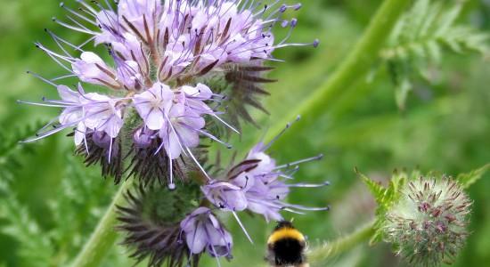 pour une fois ... Phacelie-abeille-550x300