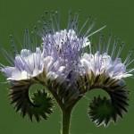Connaissez-vous cette plante spectaculaire qui permet d'enrichir la terre et de fleurir le potager?