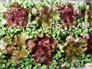 Salades et radis en association contre les altises