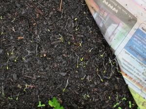 Le carton est resté trop longtemps sur ce semis de carottes