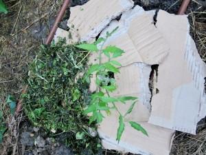 Un plant de tomates paillé avec du carton (recouvert de débris de pelouse à gauche)