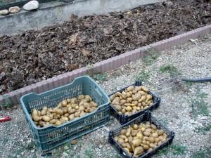 Une grosse récolte de pommes de terre