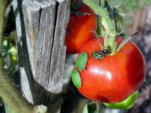 Trois générations de punaises sur une tomate