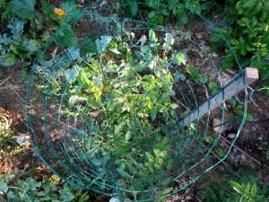 Plant en cage en cours de croissance