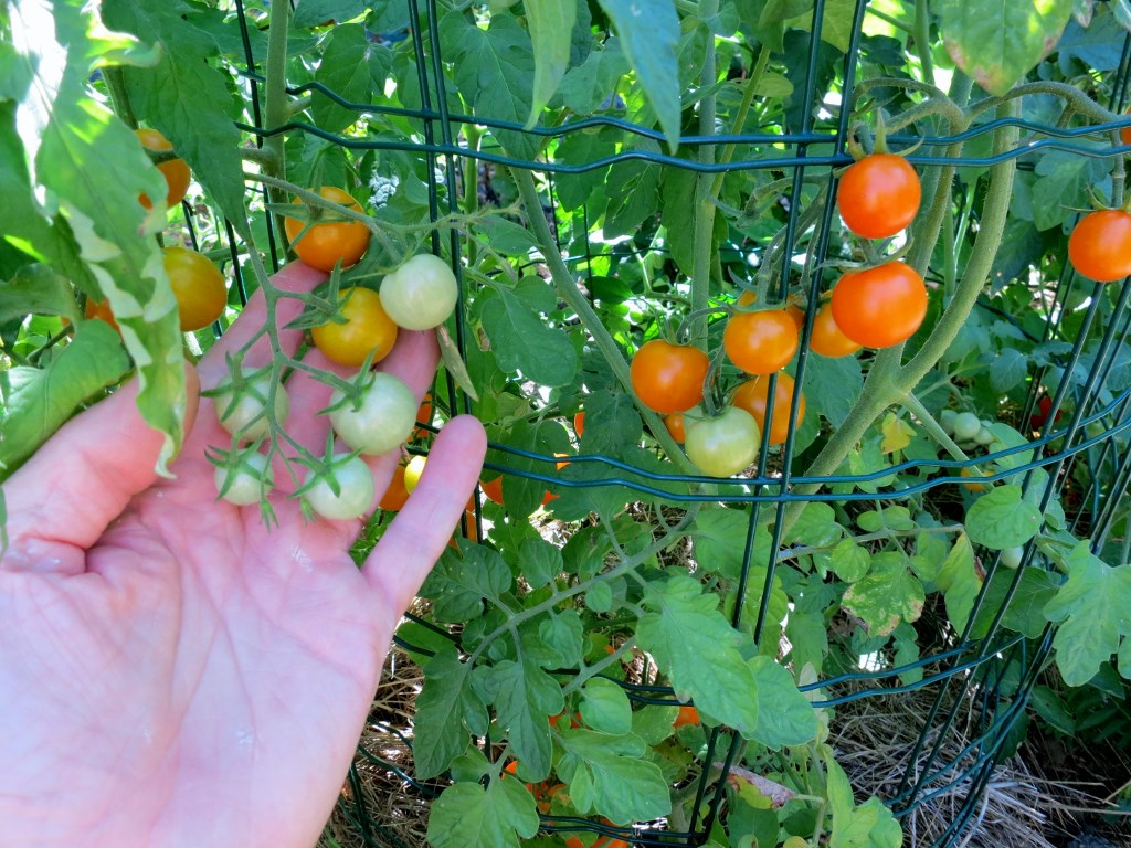 tuteurer les tomates tuteur tomate cm vert fonc poussuvert with tuteurer les tomates le parc. Black Bedroom Furniture Sets. Home Design Ideas