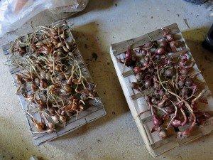 Récolte d'oignons et d'échalotes