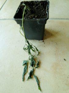 Un jeune plant de tomates victime du gel