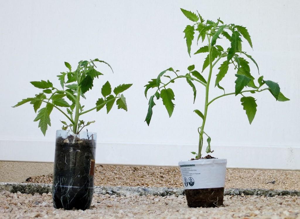 A gauche : un plant de tomate maison (technique de la bouteille).<br/>A droite : la même variété achetée en jardinerie.