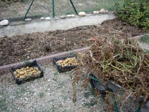 Après la récolte des pommes de terre...