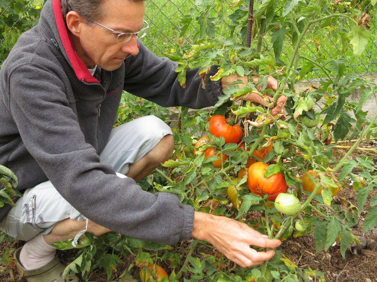 Mon palmar s des tomates 2014 - Entretien pieds de tomates ...