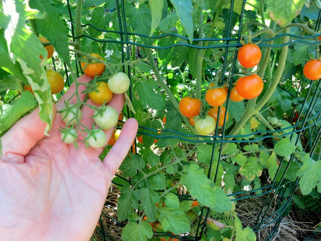Mon palmar s des tomates 2014 - Hauteur plant de tomate ...