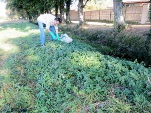 Des repousses d'orties en automne