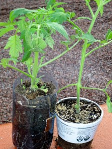 vos plants de tomates sont ils d j tomb s malades. Black Bedroom Furniture Sets. Home Design Ideas