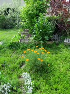 Les fleurs oranges sont des escholtzias (dites-le 3 fois sans vous tromper ;-)