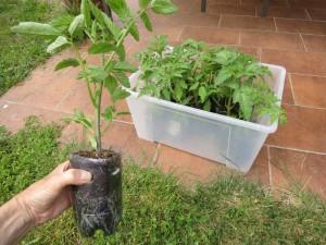 On voit dans la bouteille l'abondance de racines des plants de tomates