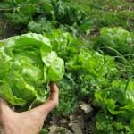 Comment être autonome en salades toute l'année