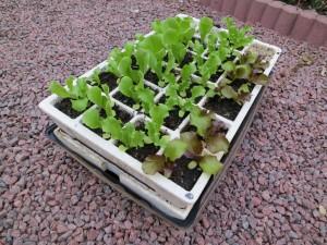 Semis en barquette auto-irrigante