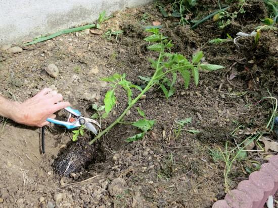 On coupe les feuilles qui se retrouveraient sous le niveau du sol