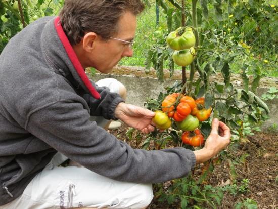 Des tomates savoureuses en perspective