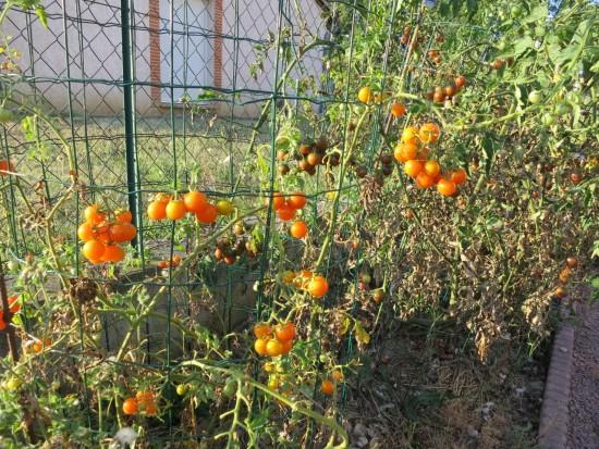 Des tomates cerises jusqu'en octobre