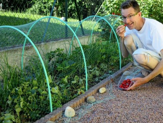 Obligé de protéger les fraisiers des oiseaux avec un filet !
