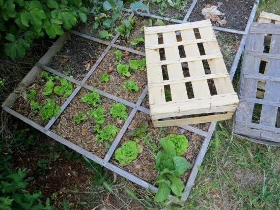 Des cagettes pour protéger les salades de la déshydratation