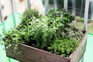 Un sympathique petit bac d'herbes aromatiques Photo prise par Suzette
