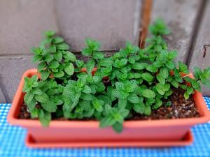 Les racines de la menthe sont plus à l'aise dans une jardinière large