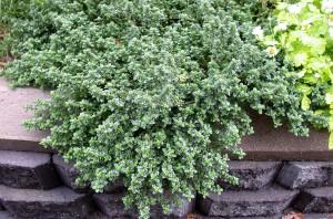 Le thym citron a les feuilles sont plus larges et plus rondes que celles du thym commun