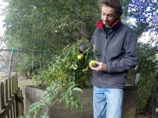 Obligé d'arracher les plants mi-octobre pour pouvoir semer de l'engrais vert sur la parcelle