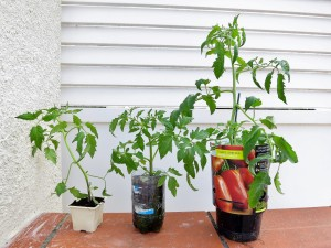 Remarquez la différence entre le plant de gauche (frêle et étiolé) qui provient de la jardinerie et celui du milieu (trapu et avec beaucoup de racines) que j'ai semé avec la technique de la bouteille.