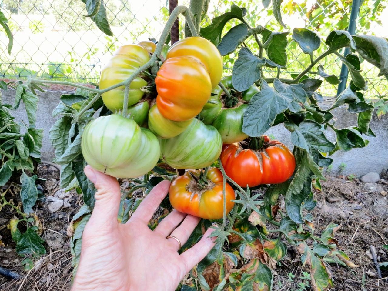 Mon palmar s des tomates 2015 - Distance entre pied de tomate ...
