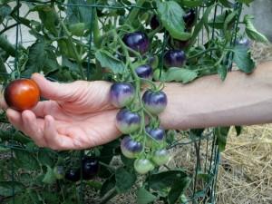 Toujours amusante, la tomate bleue 'Blue OSU'. On la voit ici à 2 stades de maturité.