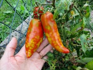 Cela n'a pas l'air d'être une maladie car seules 2 ou 3 tomates étaient atteintes par plant...